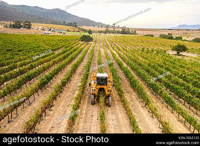 Vineyard at the Black Pearl Winery, Paarl, Western Cape, South Africa