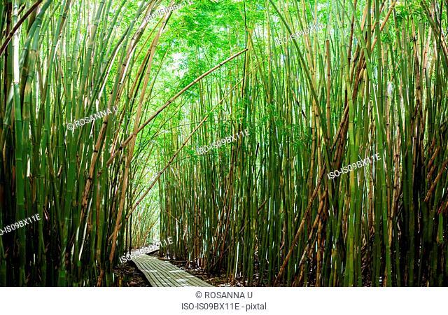 Dense bamboo forest shading walkway, Waipipi Trail, Maui, Hawaii