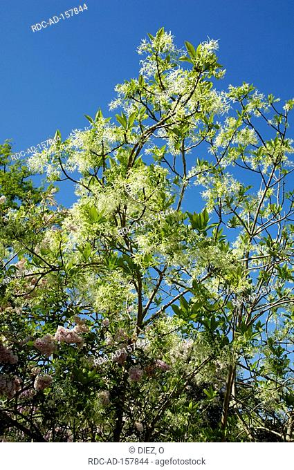 White Fringetree Chionanthus virginica