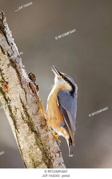 Eurasian Nuthatch at branch / Sitta europaea