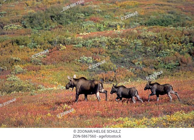 Elchkuh und Kaelber in der herbstlichen Tundra - (Alaska-Elch) / Cow Moose and calfs in the tundra in fall - (Alaska Moose) / Alces alces - Alces alces (alces)
