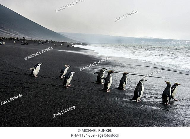 Chinstrap penguin group (Pygoscelis antarctica), Saunders island, South Sandwich Islands, Antarctica, Polar Regions