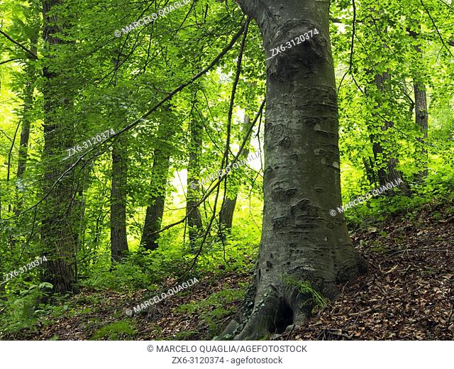 Beech forest (Fagus sylvatica) at Sesgargantes site. Montseny Natural Park. Barcelona province, Catalonia, Spain