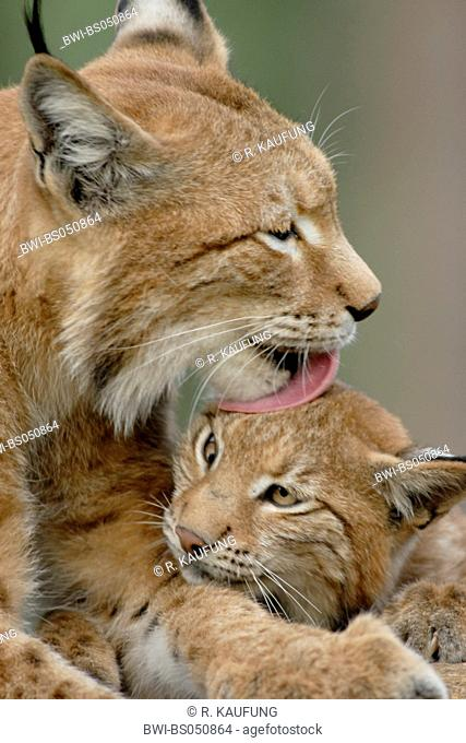 Eurasian lynx (Lynx lynx), mother and her baby at care of fur