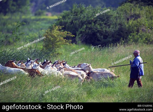 Shepherd with domestic goats, Goat, Goat herd, Bulgaria, Europe