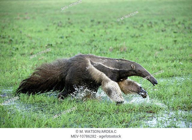 Giant Anteater - running through water (Myrmecophaga tridactyla)
