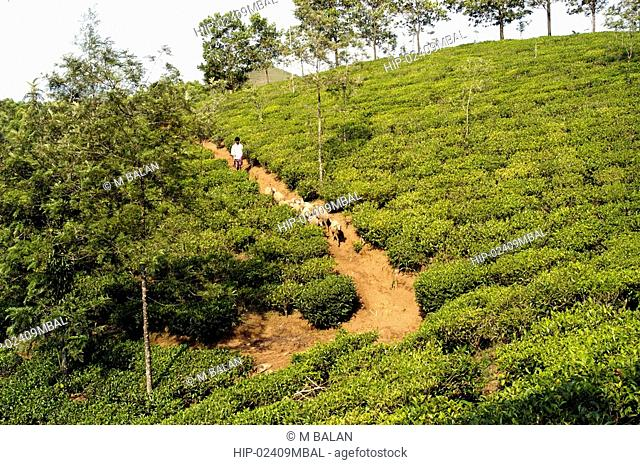 TEA PLANTATIONS, VAGAMON HILLSTATION, IDUKKI DIST