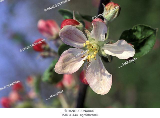 apple flowers, vignola, italy