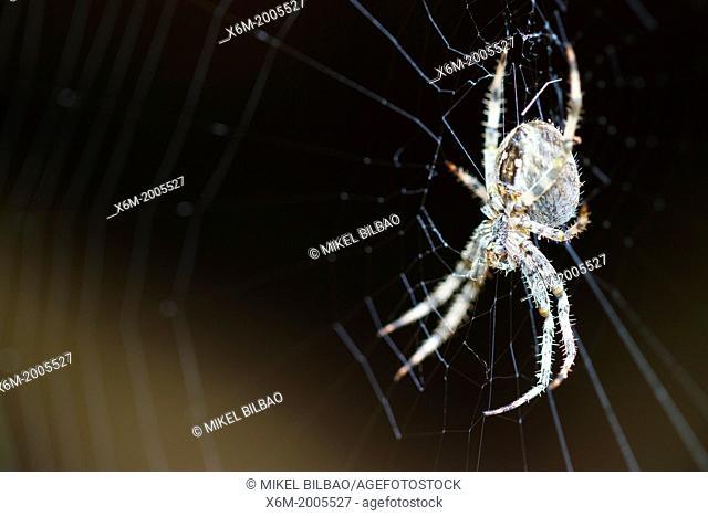 European garden spider (Araneus diadematus). Gorbeia Natural Park. Alava, Basque Country, Spain