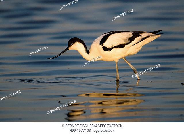 Avocet (Recurvirostra avosetta), delta of Danube, Romania