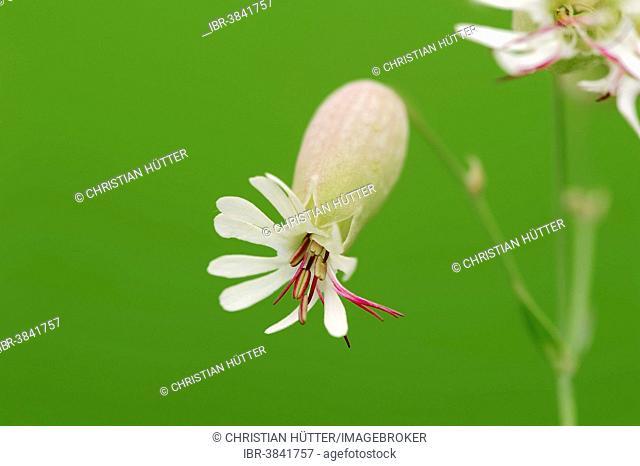 Bladder Campion (Silene vulgaris), blossom, North Rhine-Westphalia, Germany