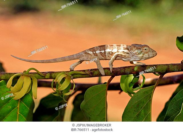 Panther Chameleon (Furcifer pardalis, Chamaeleo pardalis), young female walking on the branch of a Ylang-Ylang Tree (Cananga odorata), Nosy Be, Madagascar