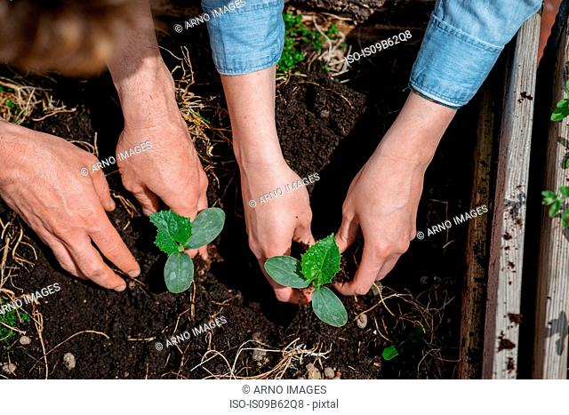 Couple planting seedlings in soil
