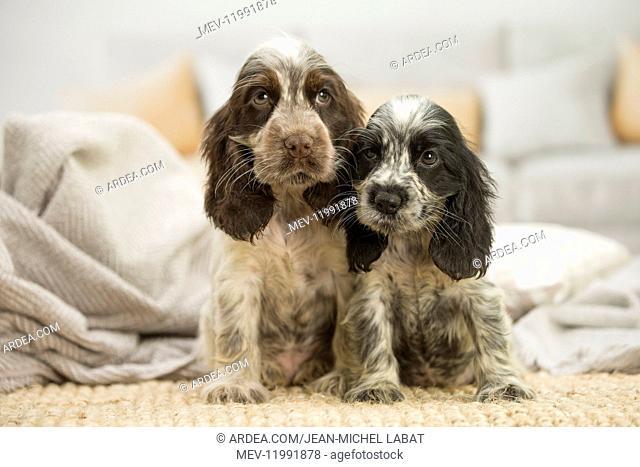 English Cocker Spaniel puppies indoors