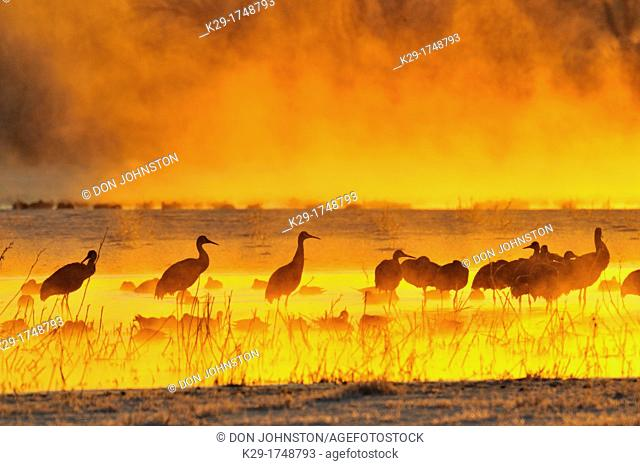 Sandhill crane Grus canadensis Flock roosting in safety of pond at dawn Bosque del Apache NWR, New Mexico, USA