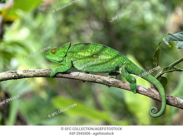Female Panther Chameleon (Calumma parsonii), (Chameleonidae), endemic to Madagascar, Andasibe National Park, Madagascar