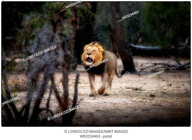 A male lion, Panthera leo, stands in a clearing, open mouth, roaring, looking away