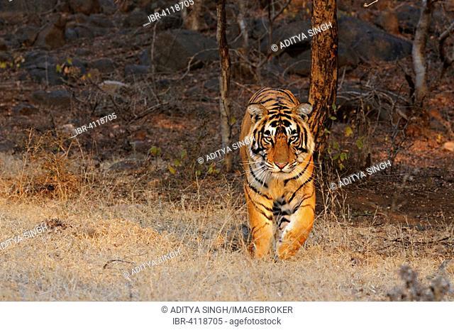 Bengal or Indian tiger (Panthera tigris tigris) in the dry deciduous habitat, Ranthambhore National Park, Rajasthan, India
