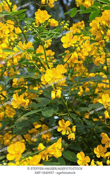 Rambling senna Senna bicapsularis syn  Cassia bicapsularis