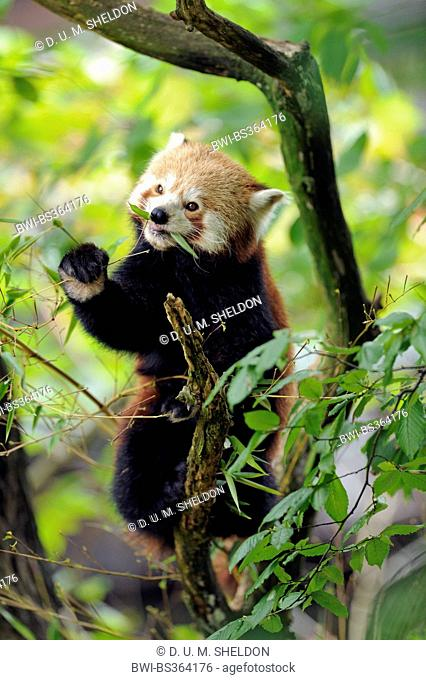 lesser panda, red panda (Ailurus fulgens), sitting on a twig and eating