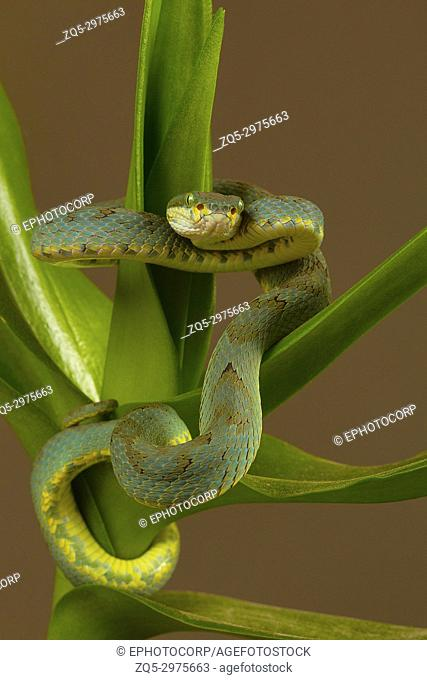 Bamboo pit viper Trimeresurus gramineus. Visakhapatnam, Andhra Pradesh, India
