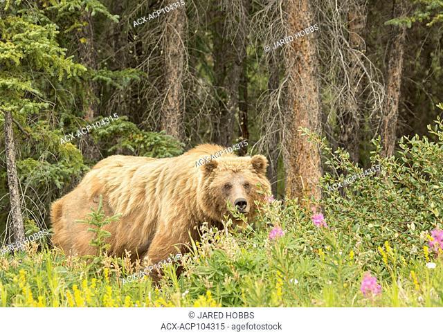 Grizzly Bear, Ursus arctos, Yukon, Canada