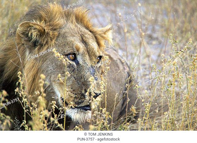 Male lion panthera leo with scarred face looking pensive