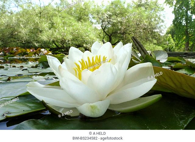 white water-lily, white pond lily Nymphaea alba, flower
