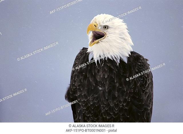 Bald Eagle Portrait Kenai Peninsula Winter AK