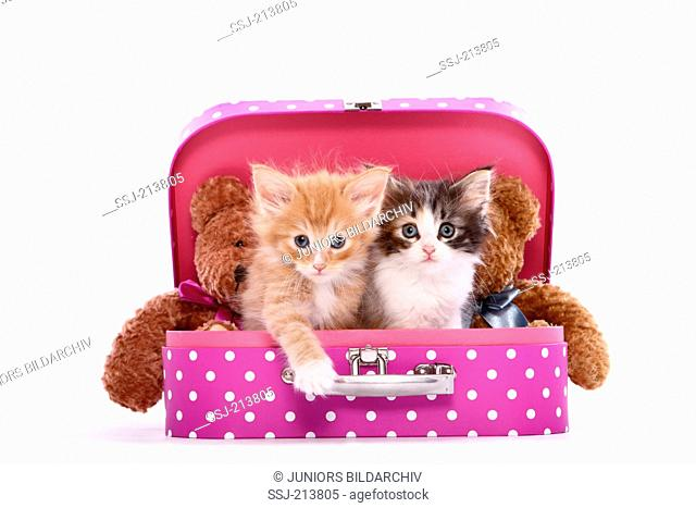 Norwegian Forest Cat. Two kittens (6 weeks old) and two Teddy bears sitting in a pink suitcase with white polka dots. Studio picture against a white background