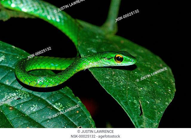 Cope's Parrot Snake (Leptophis depressirostris) waiting for prey, Panama