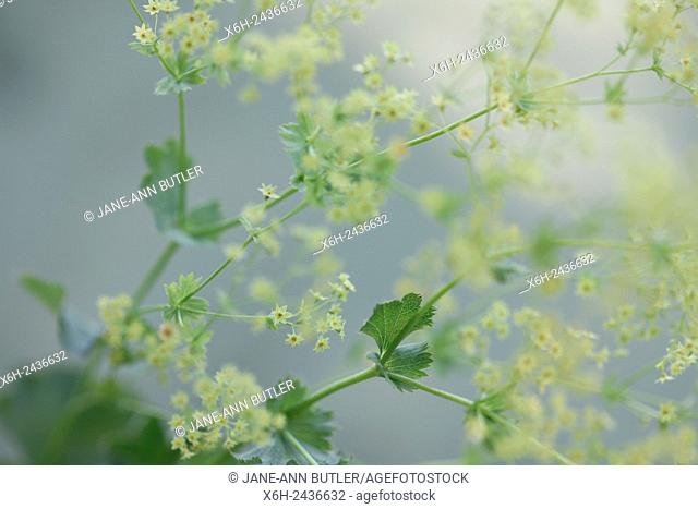 alchemilla mollis 'robustica' commonly known as lady's mantle - a herbal remedy