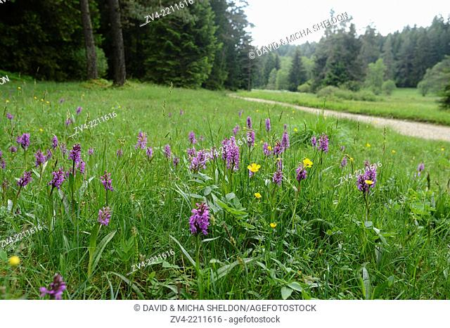 Landscape of a meadow full of western marsh orchid (Dactylorhiza majalis) blossoms in spring