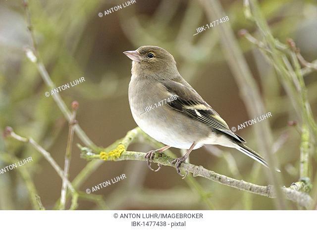 Female Chaffinch (Fringilla coelebs)
