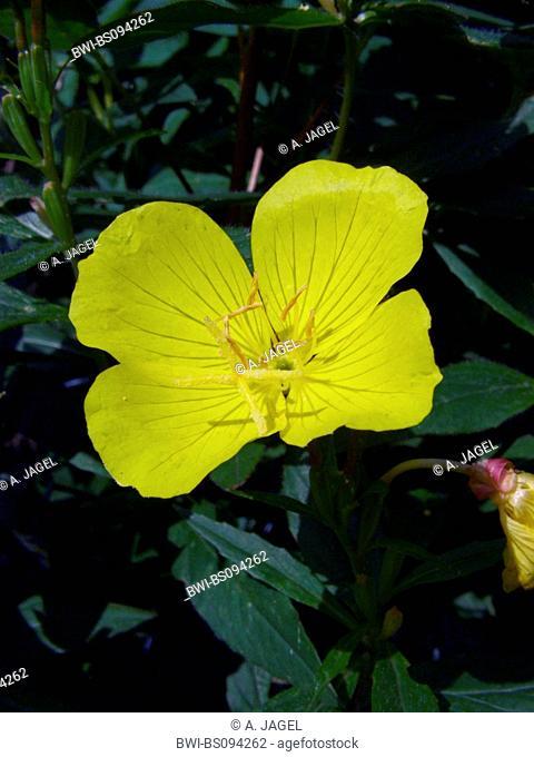 Sundrops, Narrow-leaved sundrops, Golden sundrops, Narrowleaf evening-primrose, Shrubby sundrop (Oenothera fruticosa, Oenothera tetragona), flower