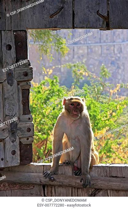 Rhesus macaque sitting on gate of Taragarh Fort, Bundi, India