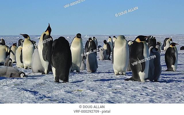 Emperor penguins (Aptenodytes fosteri) part of colony