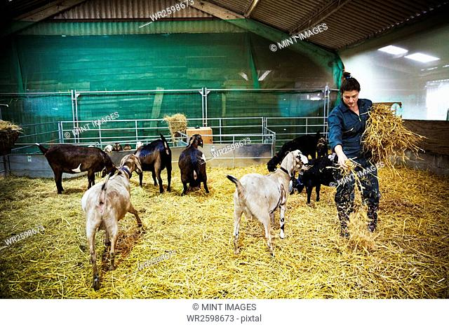 Woman in a stable with a small herd of goats, scattering straw on the floor