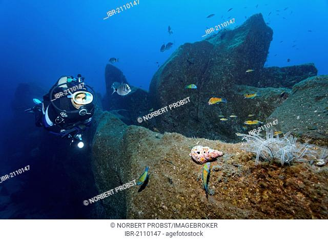 Scuba diver looking at Atlantic Triton (Charonia variegata) on rock and various kinds of fish, Madeira, Portugal, Europe, Atlantic