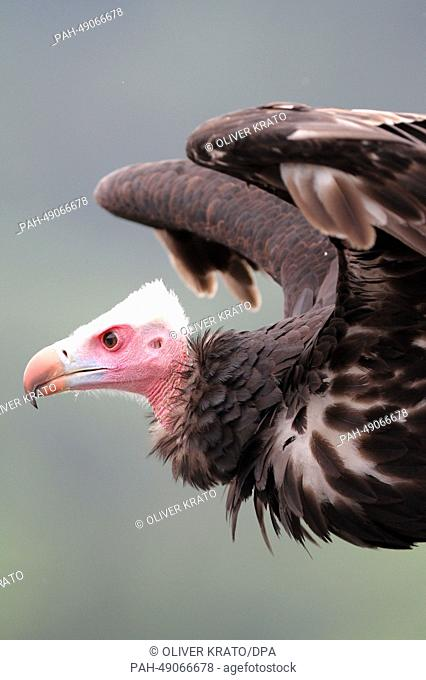 White-headed vulture 'Petry' is seen during a free flight show at the Adlerwarte Berlebeck bird park in Detmold, Germany, 23 May 2014