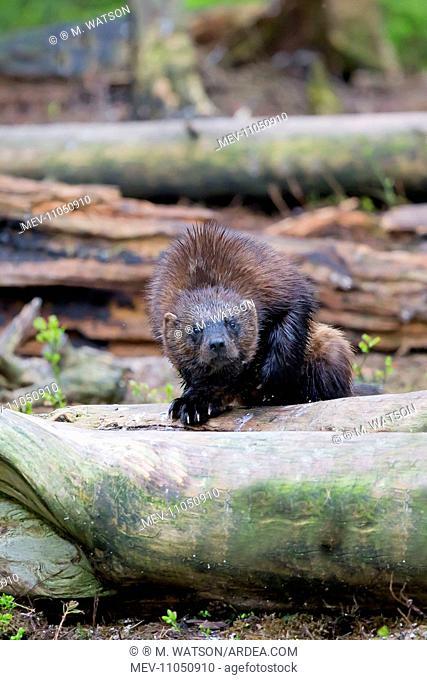 Wolverine Kajaani, Kuhmo area, Finland