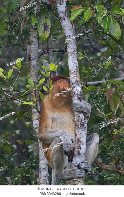 Asia, Indonesia, Borneo, Tanjung Puting National Park, Proboscis monkey or long-nosed monkey (Nasalis larvatus), adult male in a tree