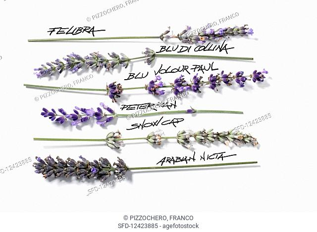 Various types of lavender