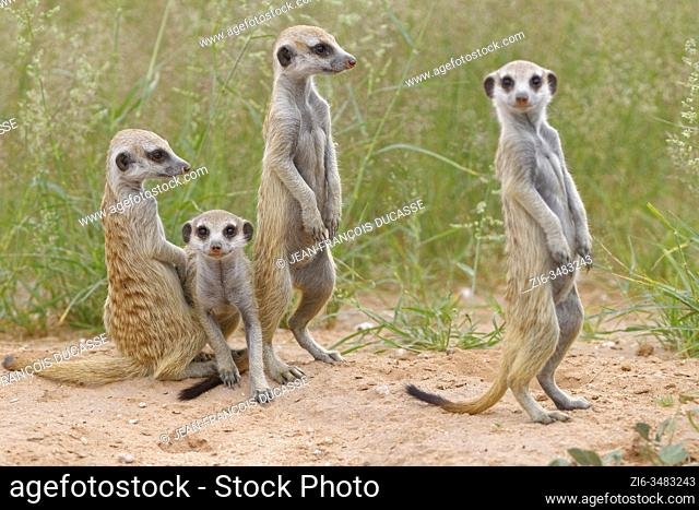 Meerkats (Suricata suricatta), four young animals at burrow, alert, Kgalagadi Transfrontier Park, Northern Cape, South Africa, Africa