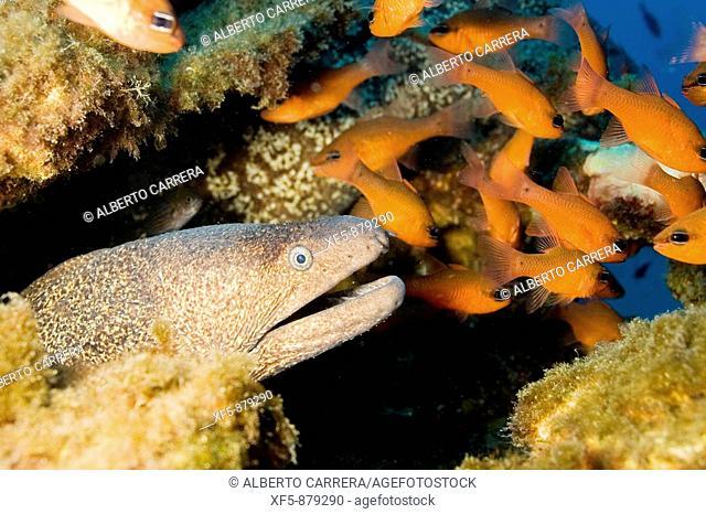 Morena, Muraena helena, Moray eel, Reyezuelo, Apogon imberbis, Cardinal fish, Mar Mediterráneo