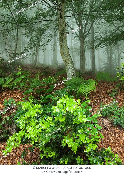 Beech forest (Fagus sylvatica) on a foggy and rainy afternoon. Montseny Natural Park. Barcelona province, Catalonia, Spain