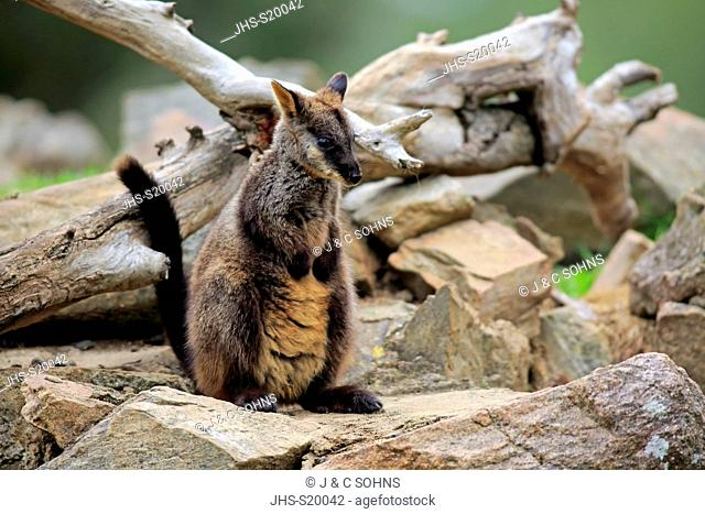 Brush-tailed rock-wallaby, (Petrogale penicillata), adult on rock, New South Wales, Australia