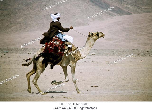 Camel racing in Bir Sal (Camelus dromedarius) Sinai, Egypt