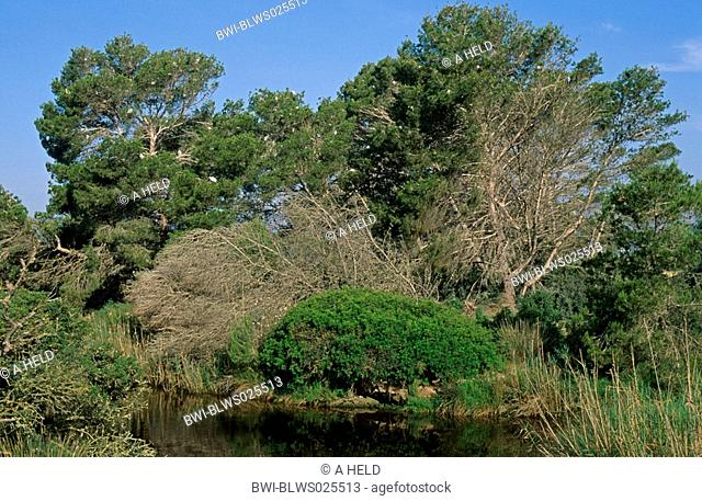 aleppo pine Pinus halepensis, shore vegetation with a colony of herons, Spain, Majorca