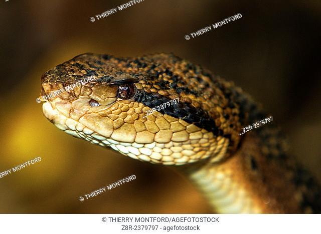 Lachesis muta. Bushmaster close-up. French Guiana